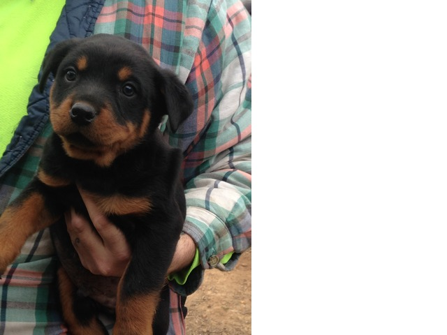 Rottweiler Puppies In Kalamazoo Michigan Geauga County Buy Sell